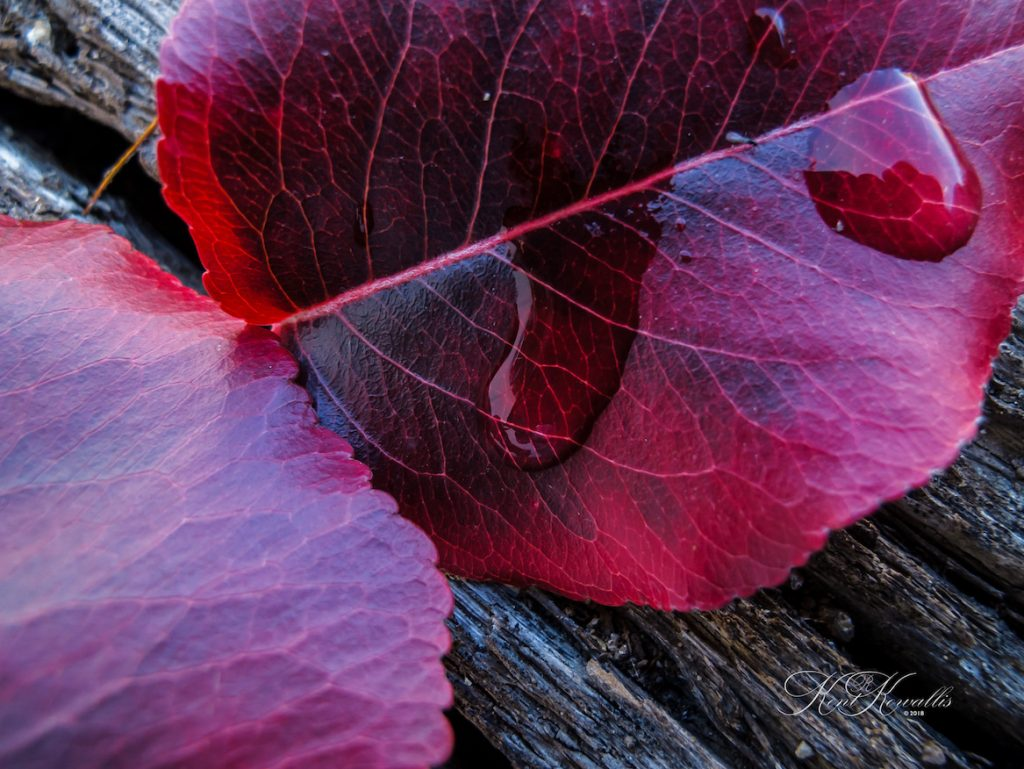 Leaf, autum, red, water