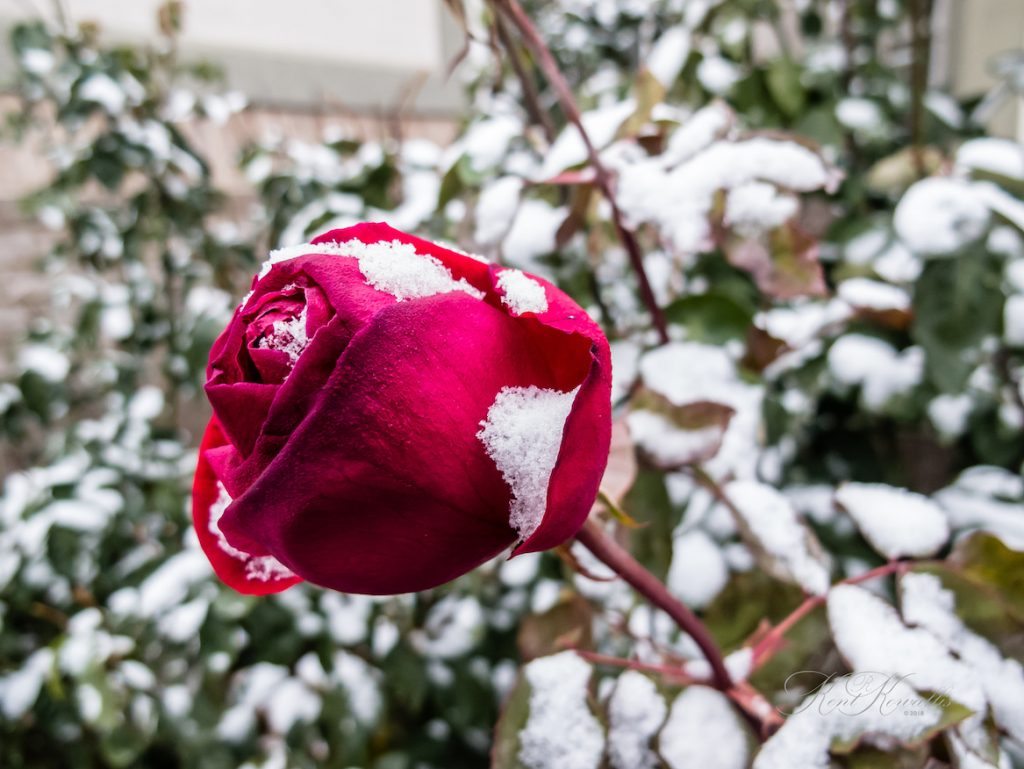 Rose, Red, Snow