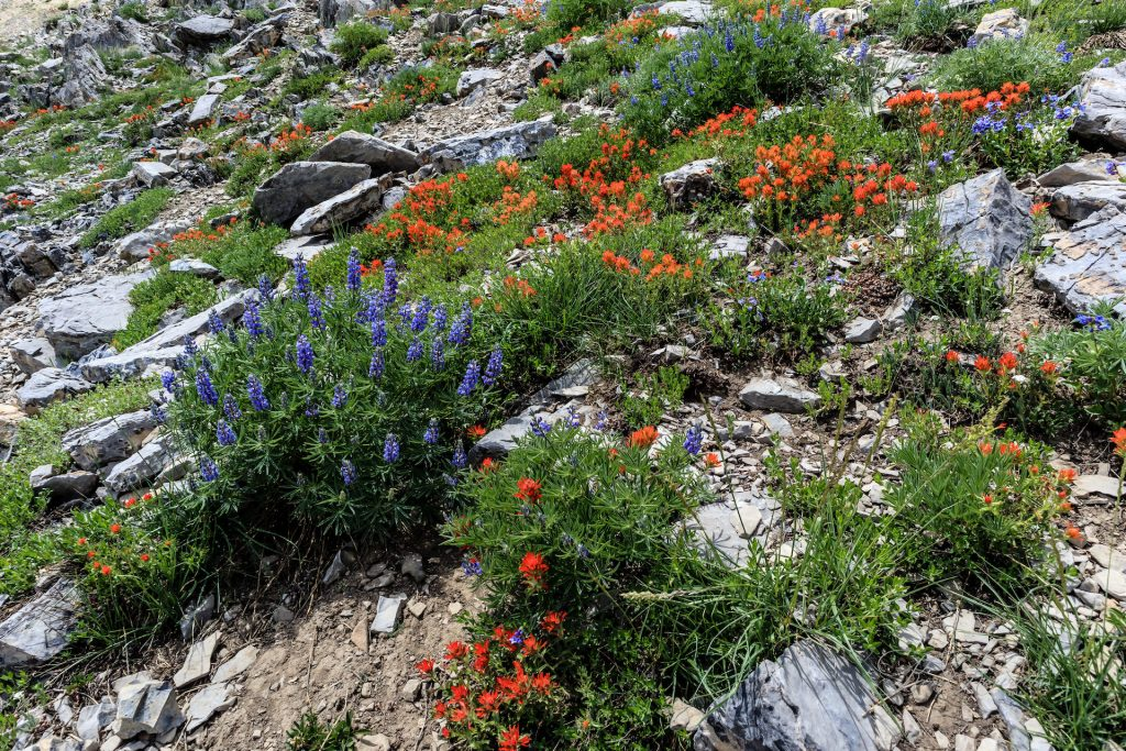 Mountain Flowers, Mount Nebo, Utah, Size: 40X26
