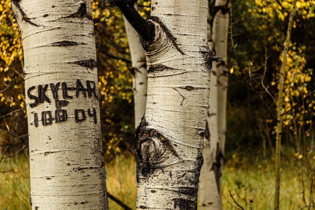 Quaking Aspens, Carving, Name